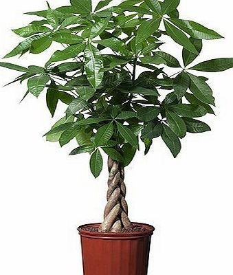 Best4garden Easy Care Plaited Money Tree - Pachira Aquatica - Elegant decorative indoor tree - Virtually Kill-Proof - Ideal for offices and conservatories - Simple houseplant gift - Braided stem.