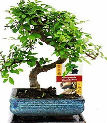 Bonsai By Design Bonsai Elm parvifolia S Style 7 yr - 1 tree