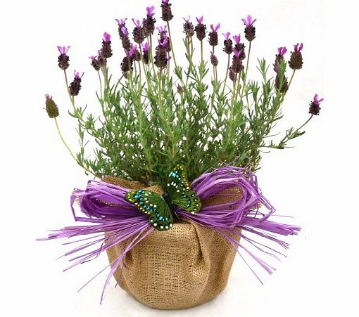 A POT OF SCENTED FRENCH LAVENDER -Superb Christmas, Birthday,Plant & Flower Gift For Birthday,New Home Or Just A Simple Thankyou