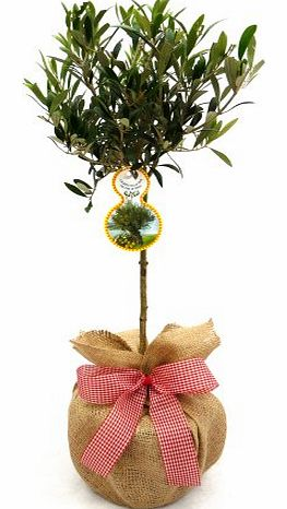 MINI OLIVE TREE-Superb Gift,Plant & Flower Gift For Mothers Day,Birthday