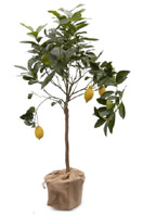 Nigel`s Eco Store Lemon Tree - a fruiting citrus tree that will