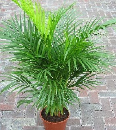 Indoor Plant -House or Office Plant -Chrysalidocarpus lutescens Areca Palm - Butterfly Palm 1.1m