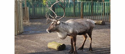 With this fantastic treat from the award winning Paradise Wildlife Park Hertfordshire, you can adopt a Reindeer. Not just for Christmas, Reindeers need round the year care from the expert zoo keepers, and by adopting one you are helping the zoo conti