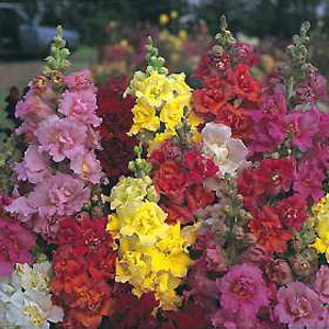 These large  completely double  azalea-shaped blooms provide a riot of colour. Ideal for borders  be