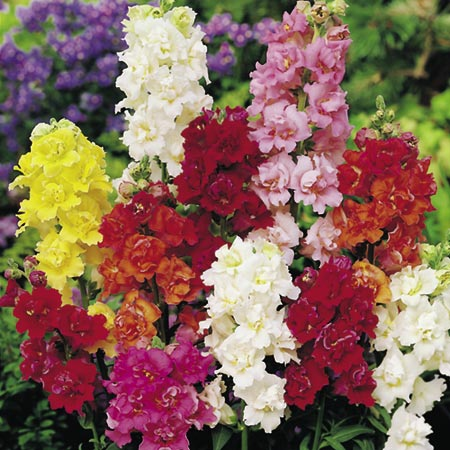 The unique  double flowers are just like miniature double Azaleas and come in a wide range of attrac