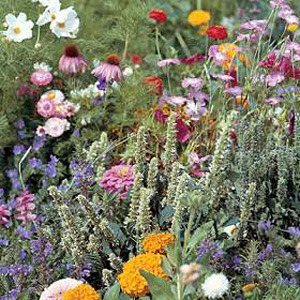 An exciting blend  specially selected to attract butterflies and other beneficial insects to your ga