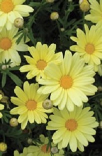 Crazy Daisy Butterfly Chrysanthemum has masses of daisy flowers of a delicate yellow colour. Great i