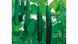A superb all-female cucumber producing vigorous plants bearing heavy crops of long slightly ribbed high quality bitter-free fruits. The most reliable cucumber variety for unheated greenhouses. You dont have to have a large vegetable garden to grow yo