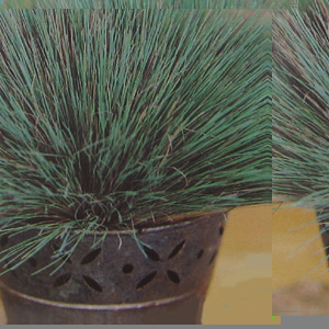 Grass ornamental corynephorus spiky blue seeds review for Spiky ornamental grass