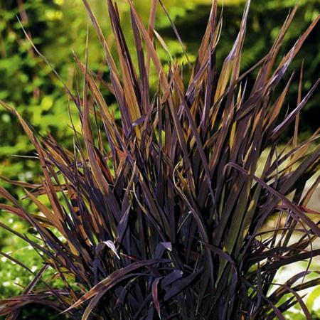 Grass ornamental rice black madras seeds average review for Dark ornamental grasses