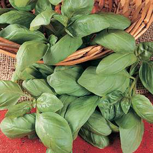 Herb Basil Genovese seeds produce fragrant  spicy leaves. Sow March to May thinly on the surface of