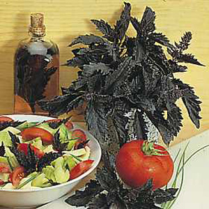 This plant produces very large  dark  shiny  purple-black  ruffled and fringed leaves. Provides an i