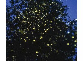 Millions of tiny fireflies sparkle and twinkle in thick mangrove to give the impression of brightly lit Christmas trees - a natural phenomenon that can only be seen in two locations in the world.